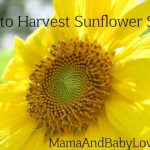MBL sunflower
